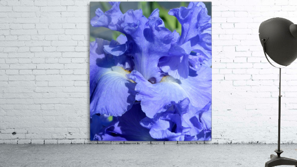Metoleus Blue Bearded Iris