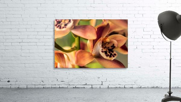 Blush Orchids