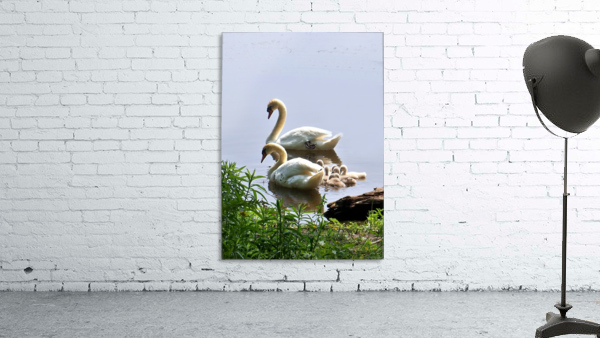 Swans and Sygnets on lake