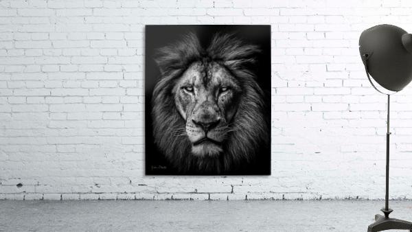 A Lion in Black & White