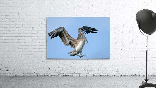 Arriving: Brown Pelican  2509