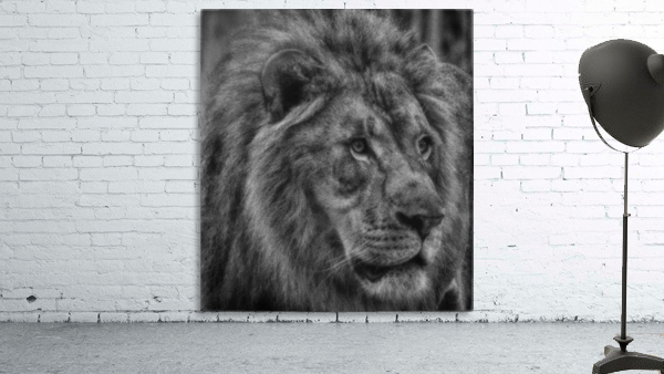 Artistic black and white Lion