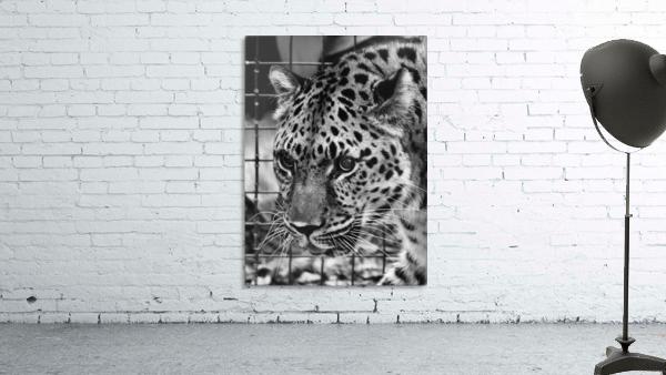 Leopard in Black & White