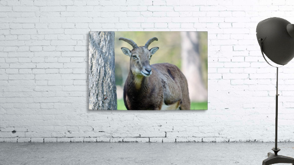 Mouflon in the Forest Portrait