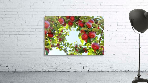 Apples Orchard- Harvest