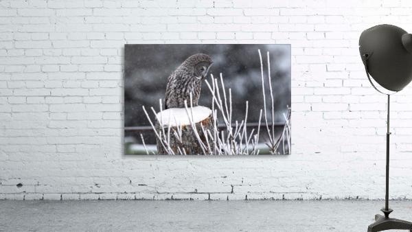 Great Grey Owl - Hunting at sunset.   Alberta Canada