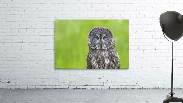 Great Grey Owl - Grey on Green