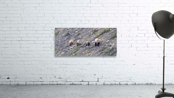 Grizzly Bear Family - Walk this way.  Kananaskis Country Alberta. Canada