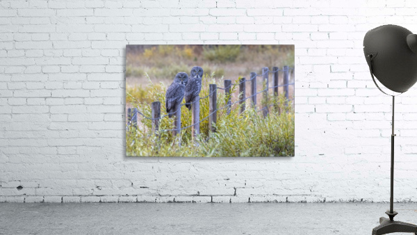 Seeing double - Great Grey Owl
