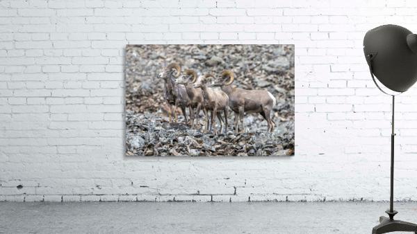 Big Horn Sheep - Family Portrait
