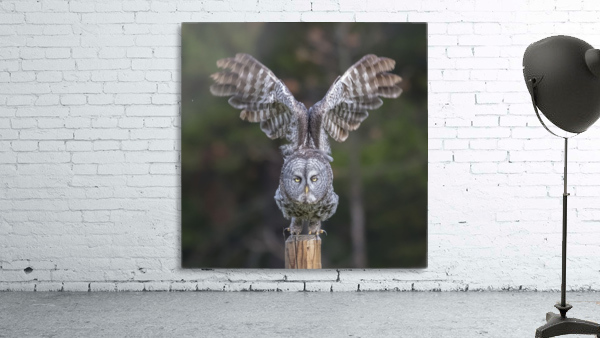 Great Grey Owl - Cleared for Take Off