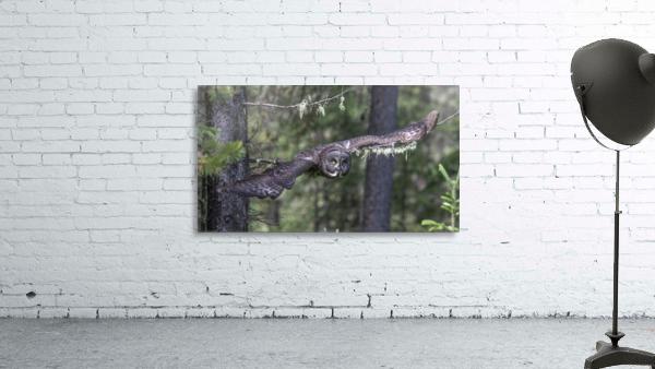 Great Grey Owl - Wing Span