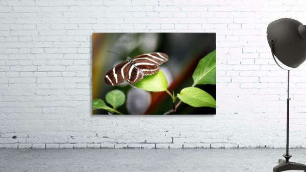 Stripped Butterfly