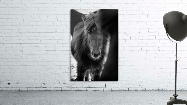 Icelandic Foal