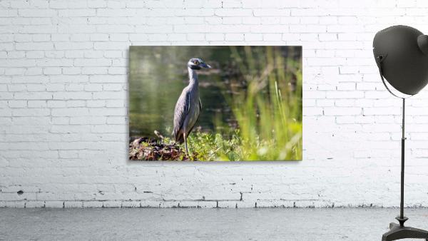Yellow crowned Night Heron at Brick Pond Park 4690