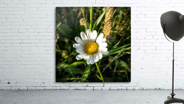 Little daisy in grass