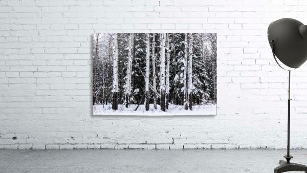 Aspens Snow Blanket Banff National Park