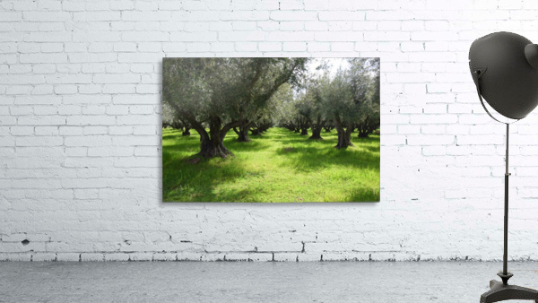 Olive Orchard In Spring