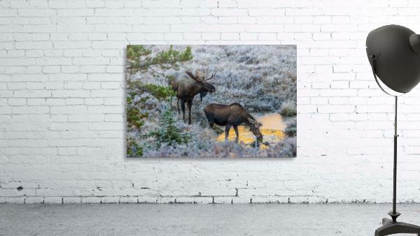 Moose On Golden Pond