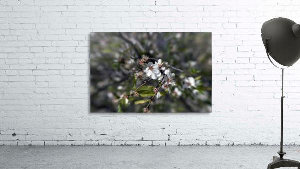 Flowering almonds 2