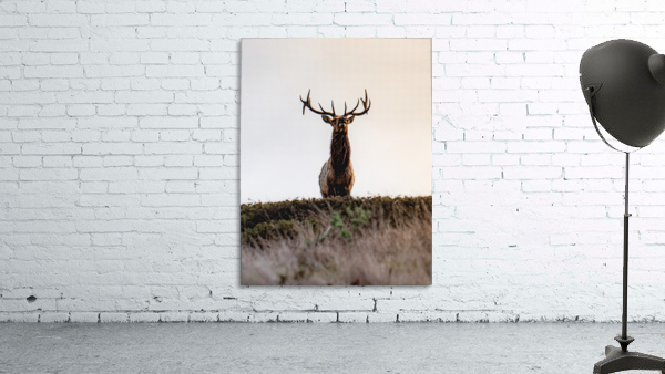 Tule Elk On Top Of A Hill