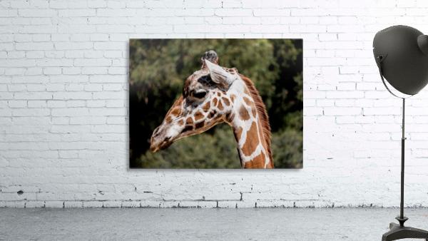 Profile of a Giraffe