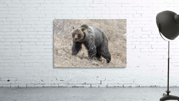 6970 - Grizzly Bear 2160