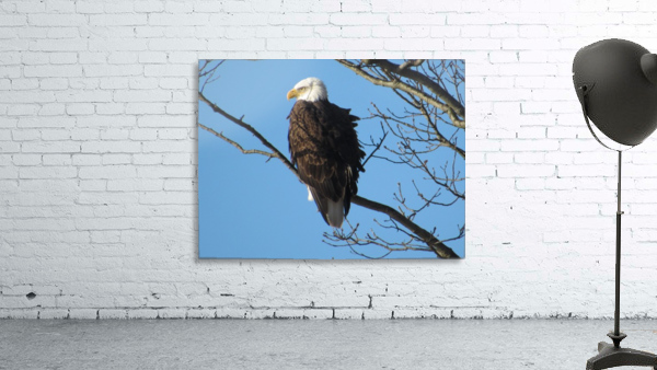 Bald Eagle Sitting on a Branch