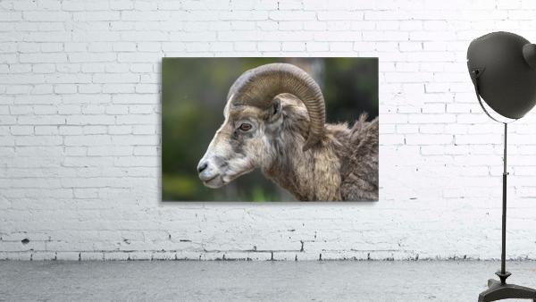 5513 - Big Horn Sheep  Banff National Park Canada