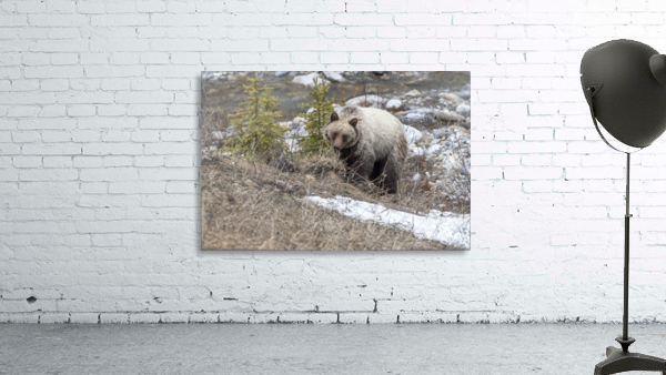 6944 - Grizzly Bear