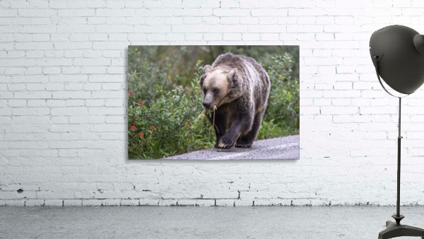 0037 - Grizzly Bear with Dandelions in Banff National Park Canada.