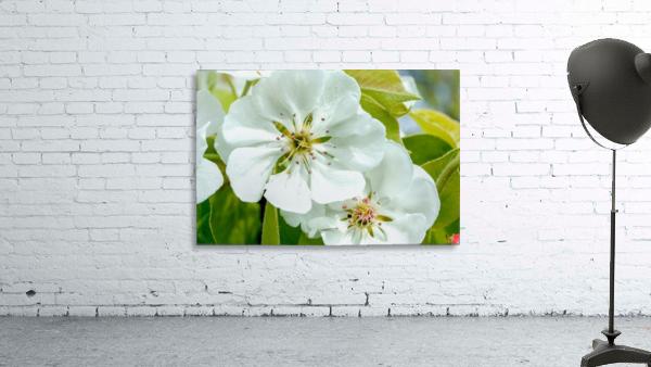 Pear Blossom - No. 1