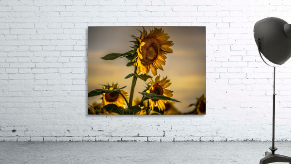 Gone with the Sunflowers