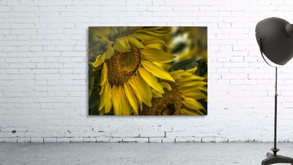 Sunflower Dawn