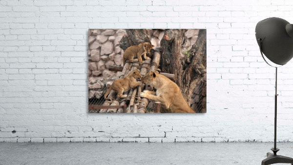 Lioness baby in Lucknow Zoo (1)