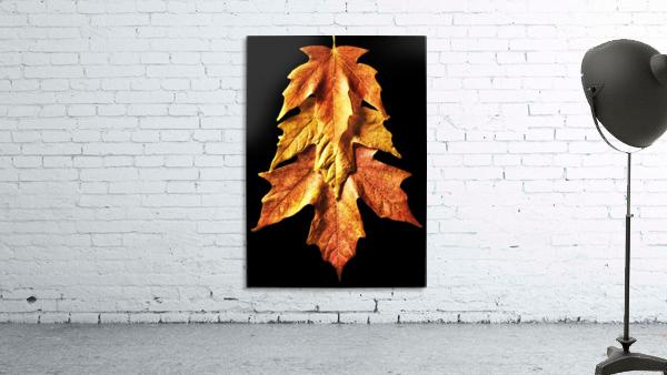 Fall Maple Leaves 1