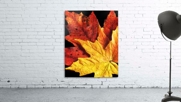 Fall Maple Leaves 2