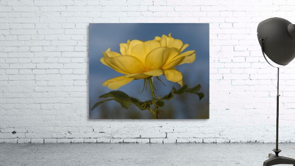 Yellow Rose Landscape
