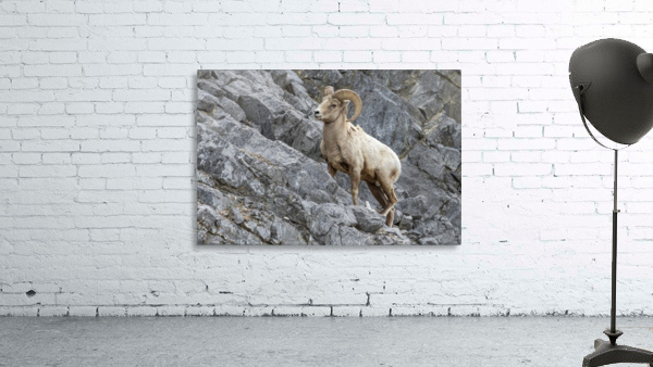 8016 - Big Horn Sheep