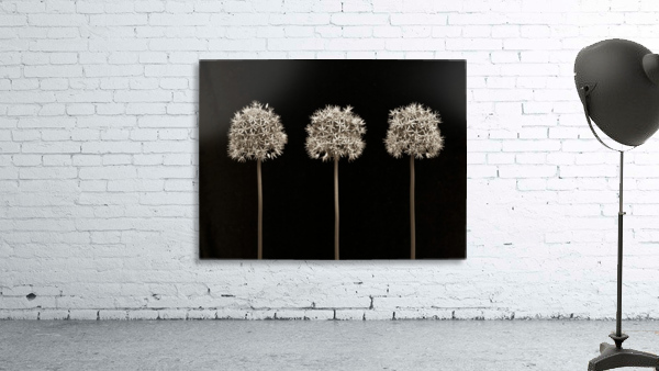 Three allium flowers