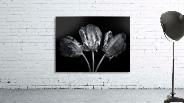 Three rococo tulips close-up