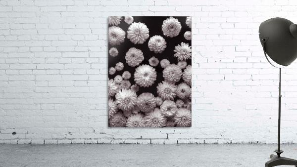 Dahlia Flowers, Full Frame