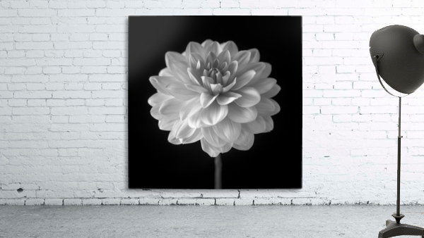 Dahlia flower on black background