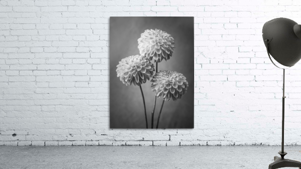 Three Dahlia flowers