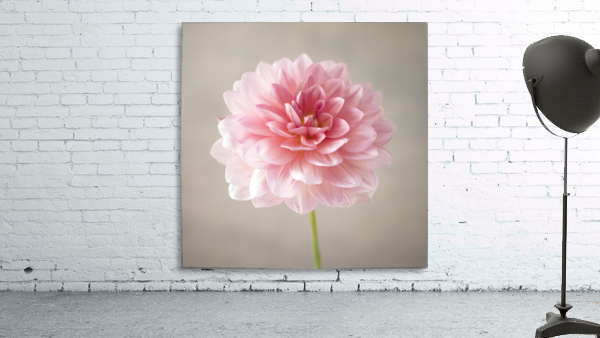 Dahlia flower on colored background