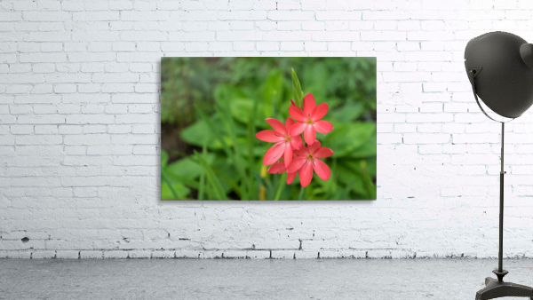 Three Bold Pink River Lily Blooms - Exotic South African Beauties in a Garden
