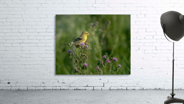 Goldfinch Female