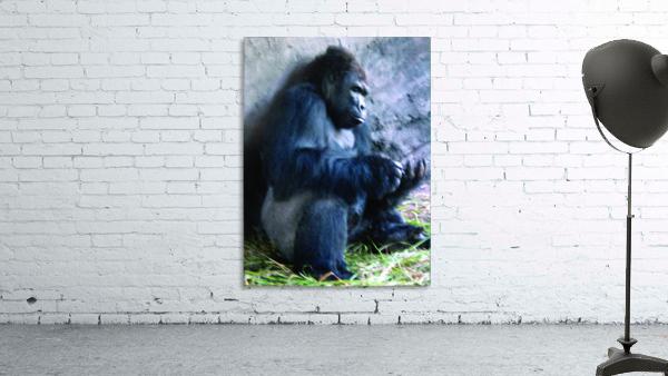 Alone Mountain Gorilla Africa