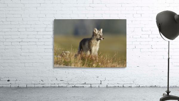 Arctic Fox Puppie by Karen Kolbeck