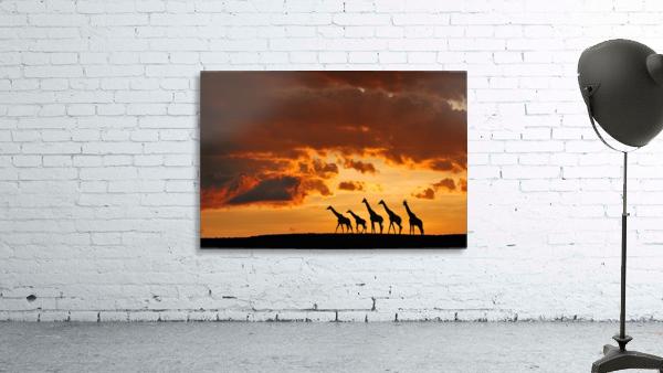 Five Giraffes